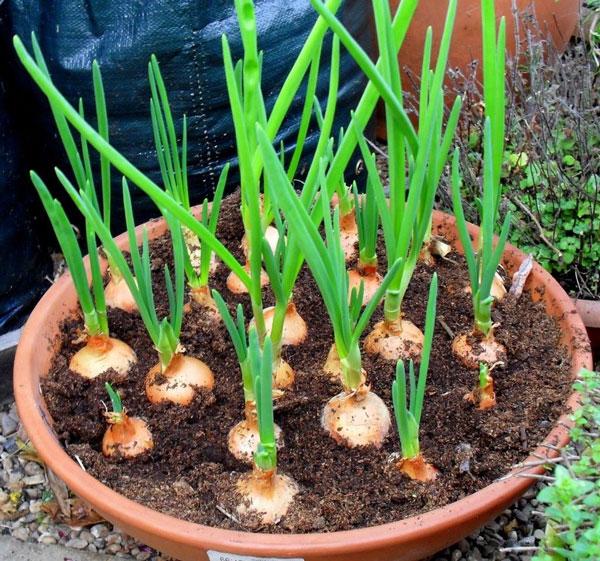 کاشت پیاز در گلدان